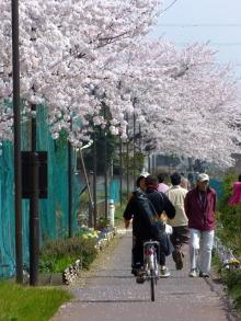 生涯学習!by Crazybowler-毛長川 グランドの桜