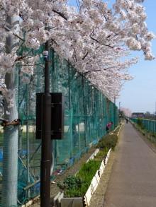 $生涯学習!by Crazybowler-毛長川 グランドの桜