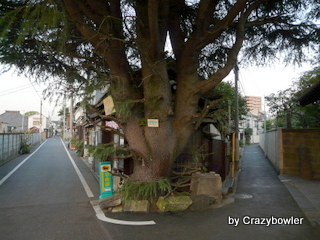 生涯学習!by Crazybowler-保護樹木ヒマラヤスギ(台東区)