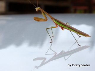 生涯学習!by Crazybowler-カマキリ