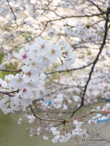 生涯学習!by Crazybowler-千鳥ヶ淵の桜 2013/3/22
