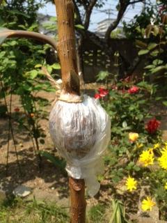 ゴムの木2