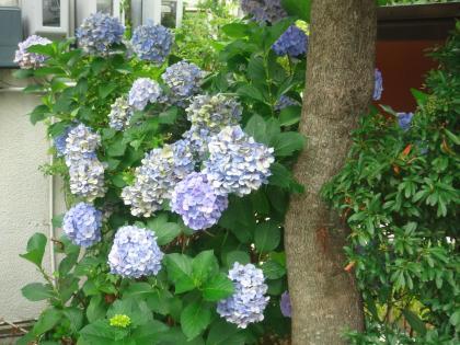 平成25年、今月の言葉の裏に咲くアジサイ