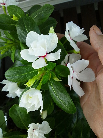 八重咲き日日草 ソワレ ホワイト