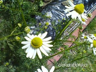 カモミール 開花2013