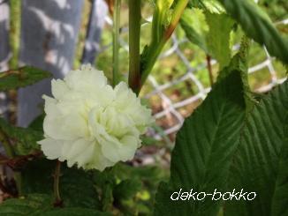 トキンバラ 開花2013