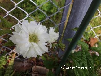 トキンバラ 開花2013-2