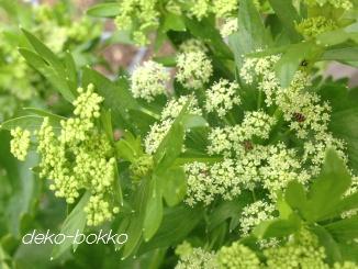 セロリの花
