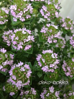 カムファータイムの花