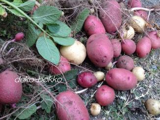 赤いも収穫 201306