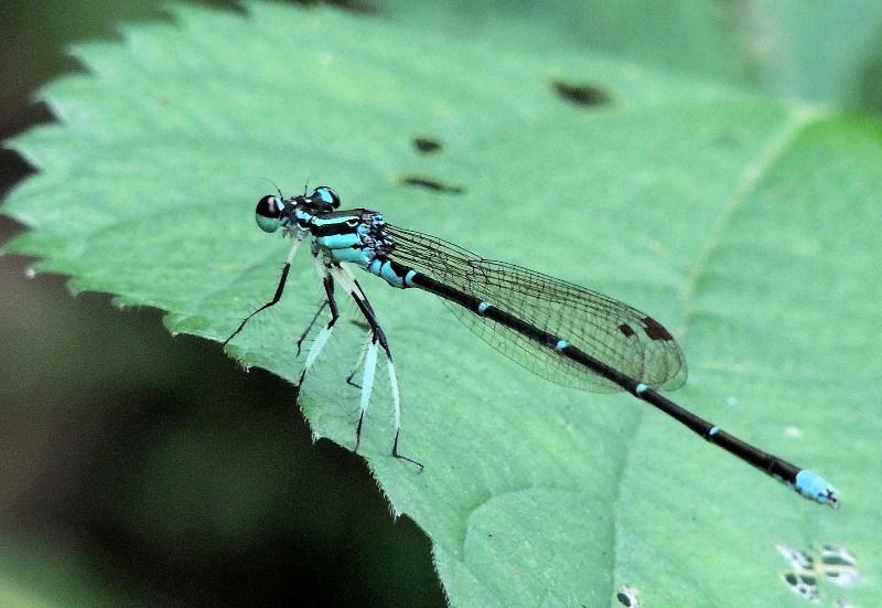 モノサシトンボ(物差蜻蛉) - トッコス爺の身近な花・虫・鳥 撮り