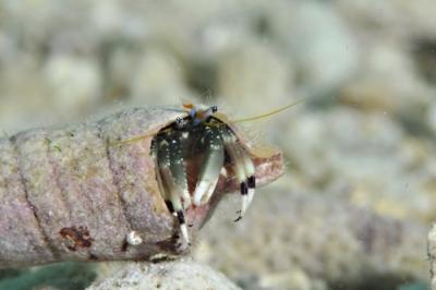 ツマジロサンゴヤドカリ