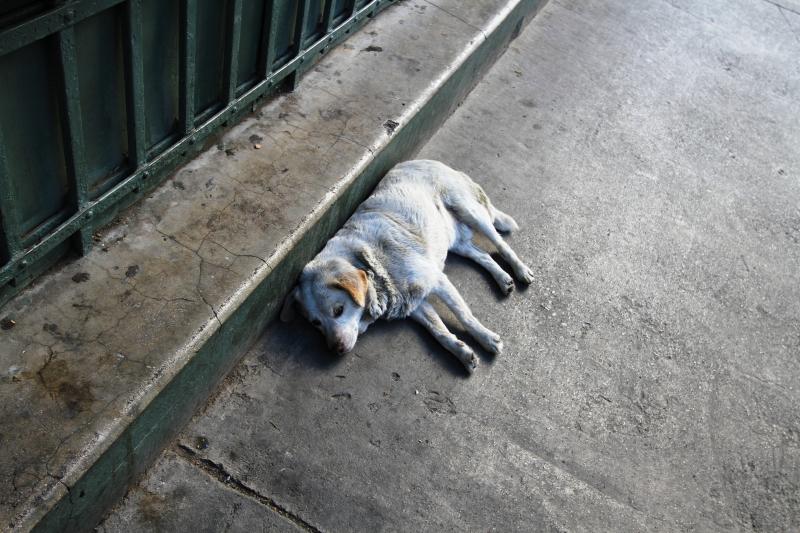 起きた白い犬