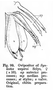 Ovipositor_of_Synlestes_by_Tillyard_1917.jpg