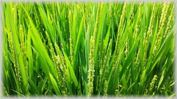 お米の花2