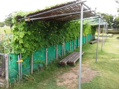 緑のカーテン1