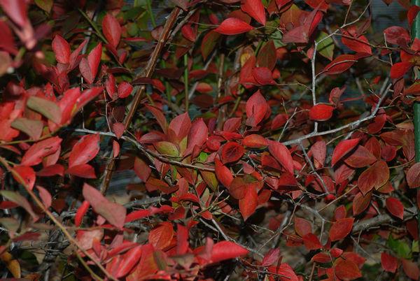 ブルーベリー紅葉7