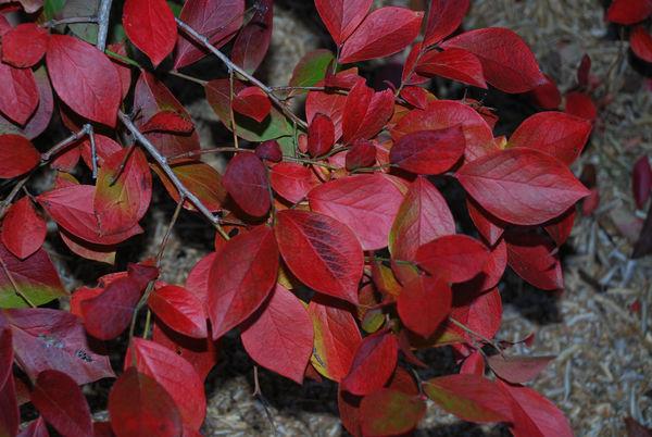 ブルーベリー紅葉9