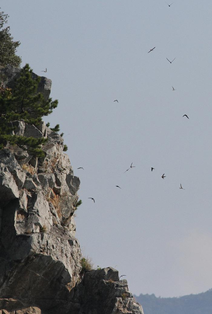 2013-4-15アマツバメの群れresize2785