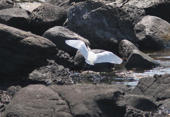 2013-4舳倉島カラシラサギresize3152