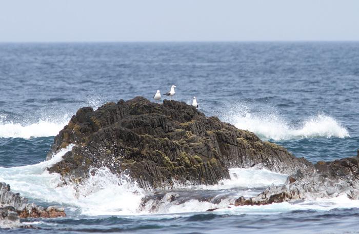 2013-4舳倉島ウミネコresize3265