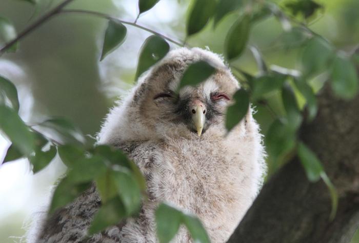 2013-5月フクロウの雛esize3574