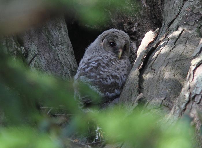 2013-5月フクロウの雛resize3575