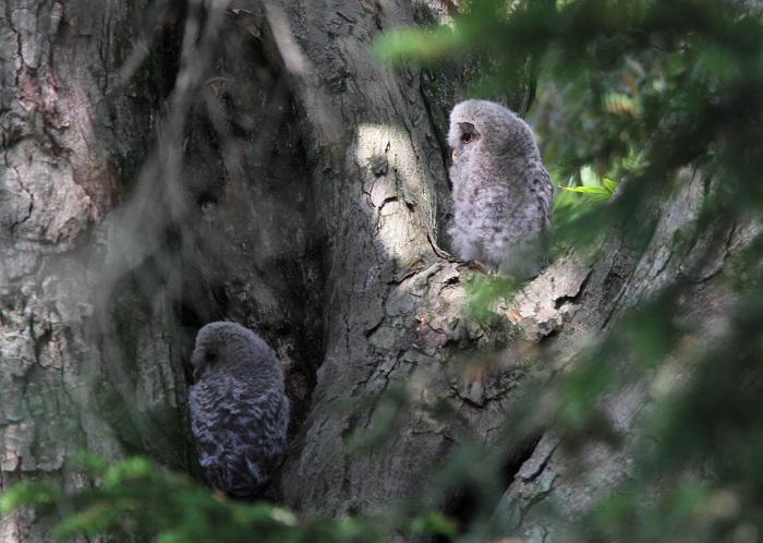 2013-5月フクロウの雛resize3592