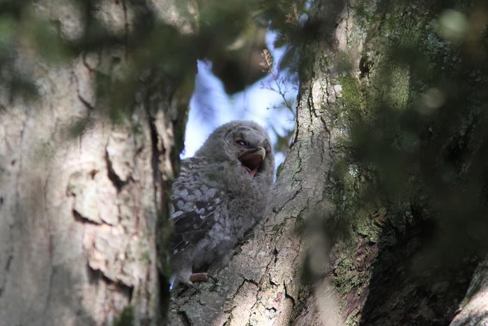 2013-5月フクロウの雛resize3578