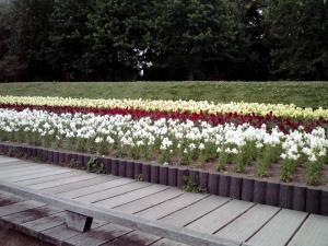 長居公園 植物園 2013(キンギョソウ)