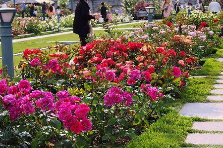 roses130515 1