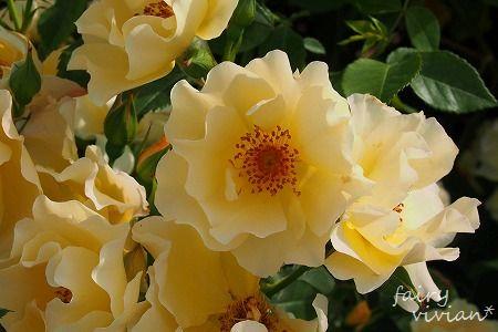 roses130515 2