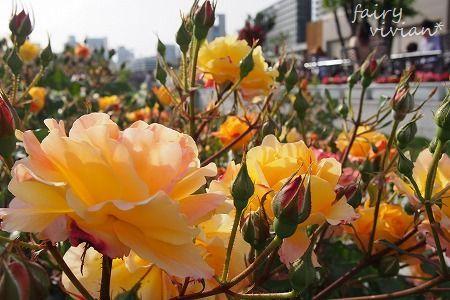 roses130515 4