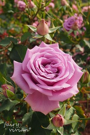 roses130515 5