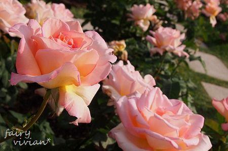 roses130515 6