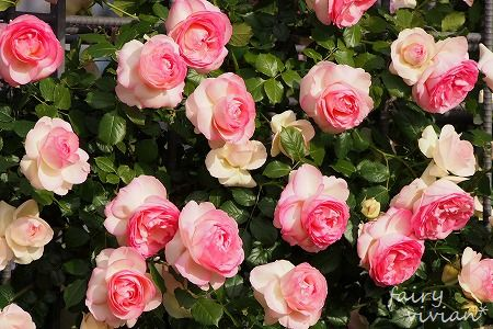 roses130515 7