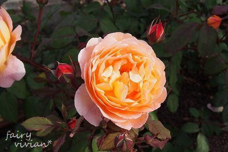 roses130515 9