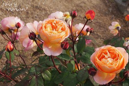 roses130515 11