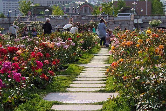 roses130515 12