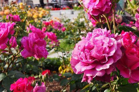 roses130515 10
