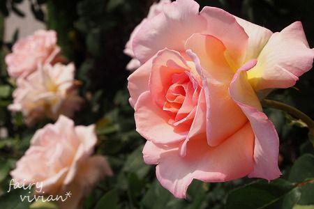 roses130515 13
