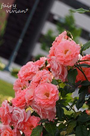 roses130515 14