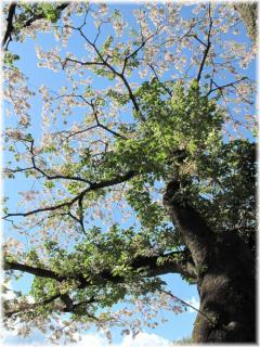 130407G 039桜の大木