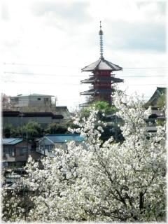 130407H 017桜と五重塔