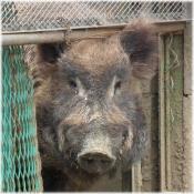 130420H 033猪
