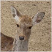 130420H 024鹿