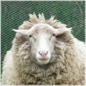 130420H 037羊