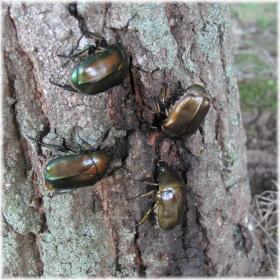130706G 054樹液の虫たち