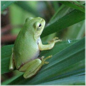130706G 041緑の小ガエル