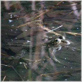 130804H 021水中蛙
